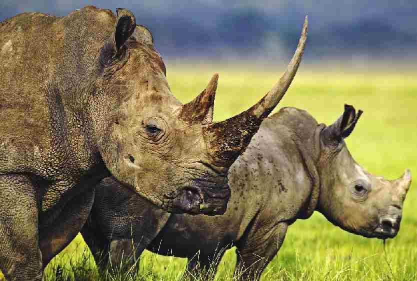 rhinoceros_whire_rhino_and_baby